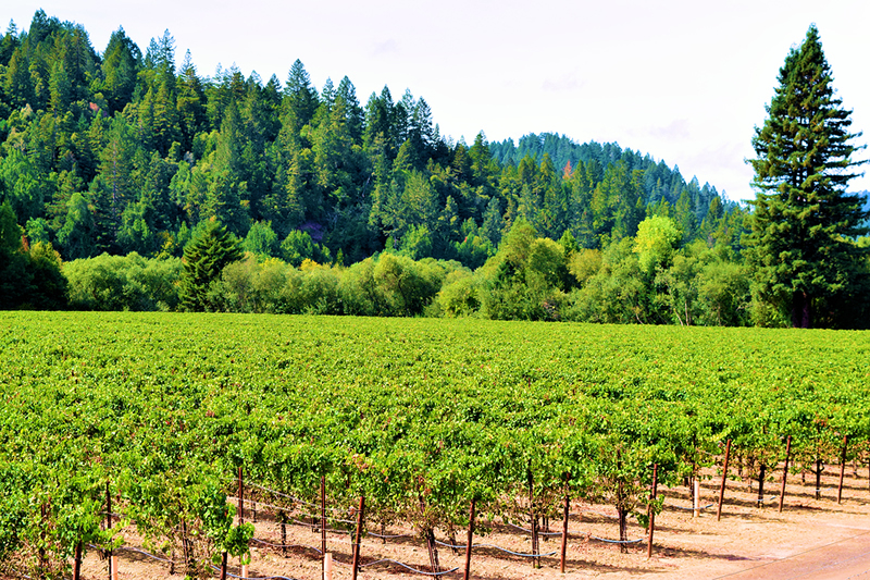Russian River Guerneville vineyard and forest